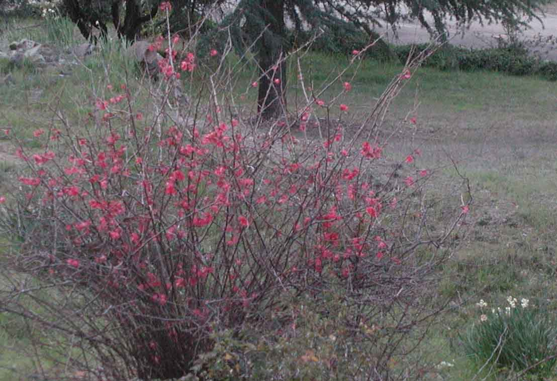 Some kind of red bush